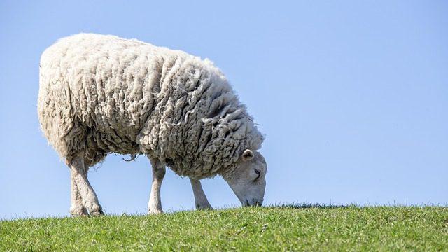 את הכבש האחד: הרב ערן טמיר על סוד ההתמדה הטמון בפרשת פנחס
