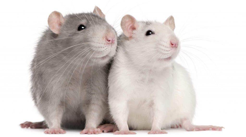 העכברים של בית המקדש – חלק א